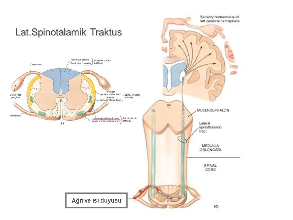 Lat.Spinotalamik Traktus Ağrı ve ısı duyusu