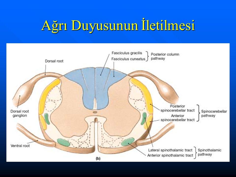 ANTEROLATERAL SİSTEM Anterolateral sistemde medulla spinalisin dışında ve yanında yerleşmiş dorsal kök hücreleri vardır.