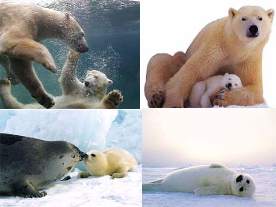 Kutup ayılarının derilerinin altındaki 10 cm lik yağ tabakası ısı yalıtımı sağlar
