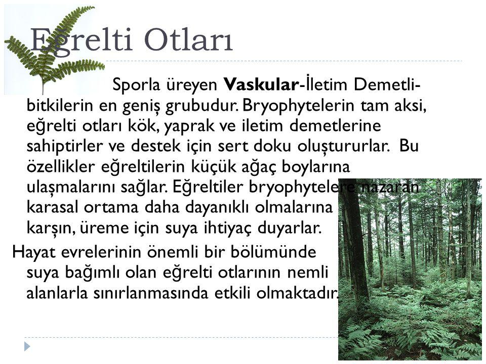 Eğrelti Otları Sporla üreyen Vaskular- İ letim Demetli- bitkilerin en geniş grubudur. Bryophytelerin tam aksi, e ğ relti otları kök, yaprak ve iletim