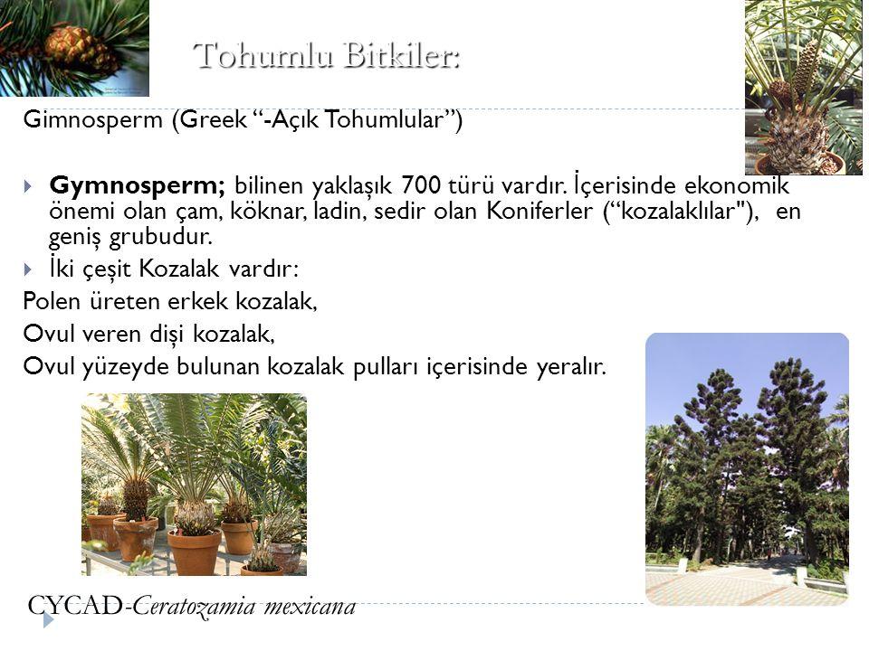 """Gimnosperm (Greek """"-Açık Tohumlular"""")  Gymnosperm; bilinen yaklaşık 700 türü vardır. İ çerisinde ekonomik önemi olan çam, köknar, ladin, sedir olan K"""