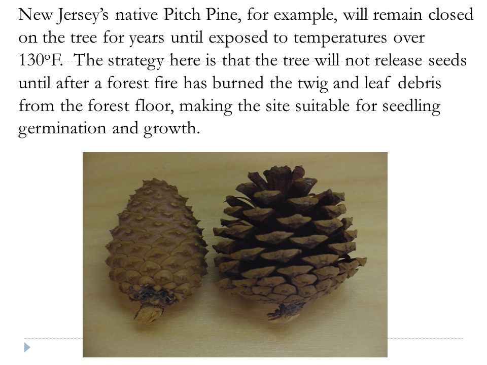 New Jersey's native Pitch Pine, for example, will remain closed on the tree for years until exposed to temperatures over 130 o F. The strategy here is