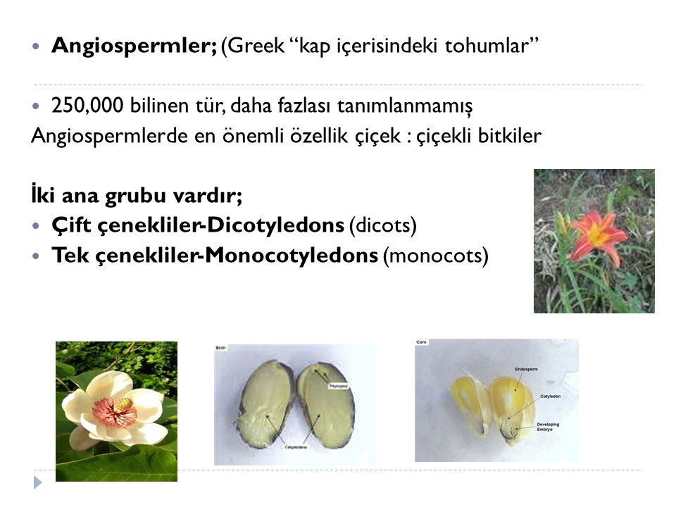 """Angiospermler; (Greek """"kap içerisindeki tohumlar"""" 250,000 bilinen tür, daha fazlası tanımlanmamış Angiospermlerde en önemli özellik çiçek : çiçekli bi"""