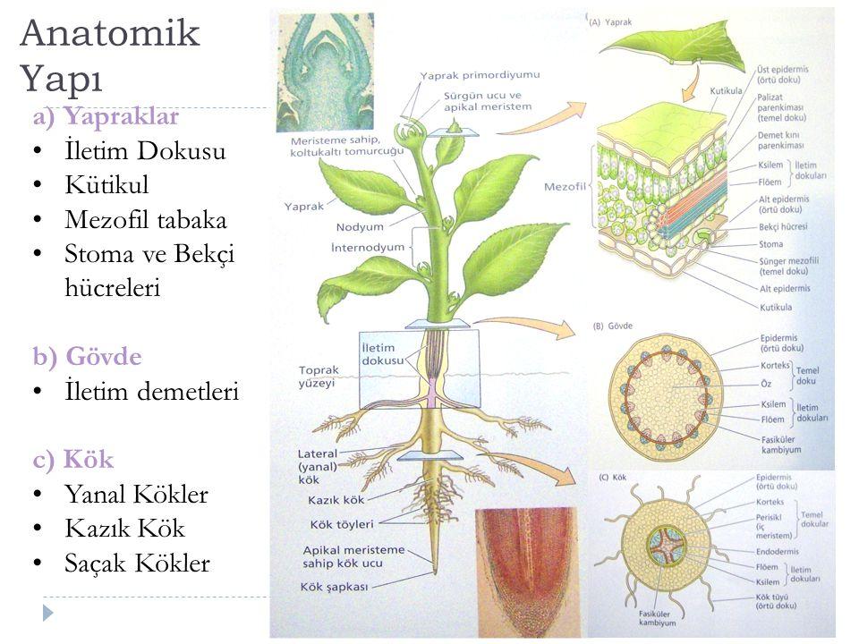 Anatomik Yapı a) Yapraklar İletim Dokusu Kütikul Mezofil tabaka Stoma ve Bekçi hücreleri b) Gövde İletim demetleri c) Kök Yanal Kökler Kazık Kök Saçak