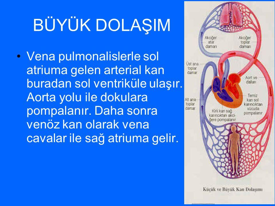 BÜYÜK DOLAŞIM Vena pulmonalislerle sol atriuma gelen arterial kan buradan sol ventriküle ulaşır. Aorta yolu ile dokulara pompalanır. Daha sonra venöz