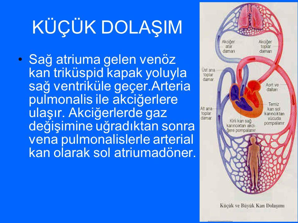 KÜÇÜK DOLAŞIM Sağ atriuma gelen venöz kan triküspid kapak yoluyla sağ ventriküle geçer.Arteria pulmonalis ile akciğerlere ulaşır. Akciğerlerde gaz değ