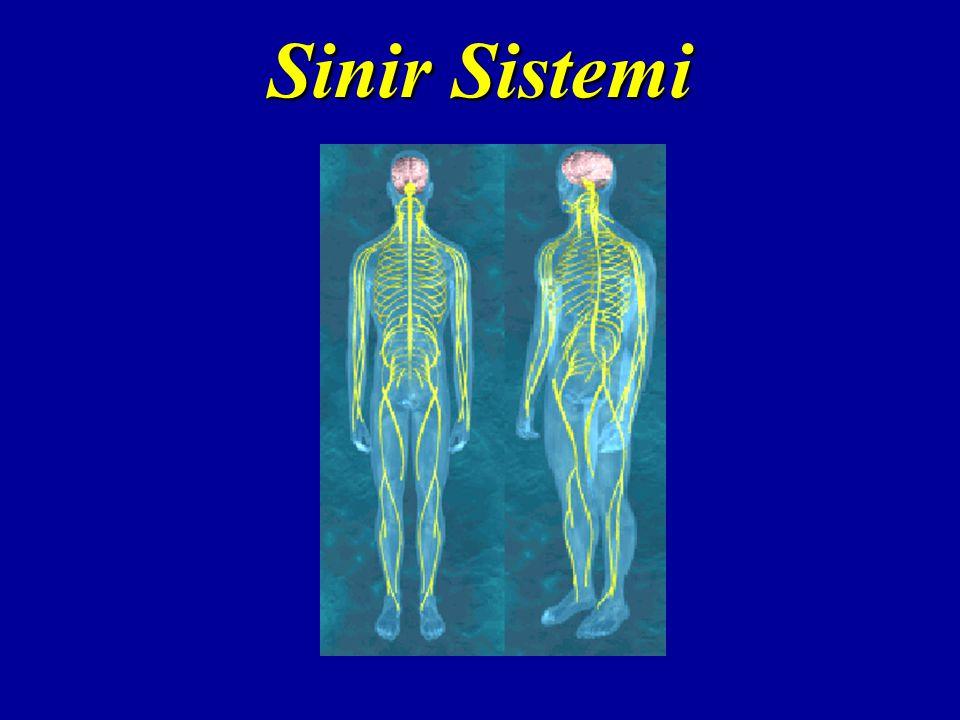 Spinal Yollar  Motor yollar (efferent = inen) Piramidal yolPiramidal yol –Hareketle ilgili bilgileri serebral kortekse iletir Ekstrapiramidal yolEkstrapiramidal yol –Otomatik hareketleri serebral kortekse iletir