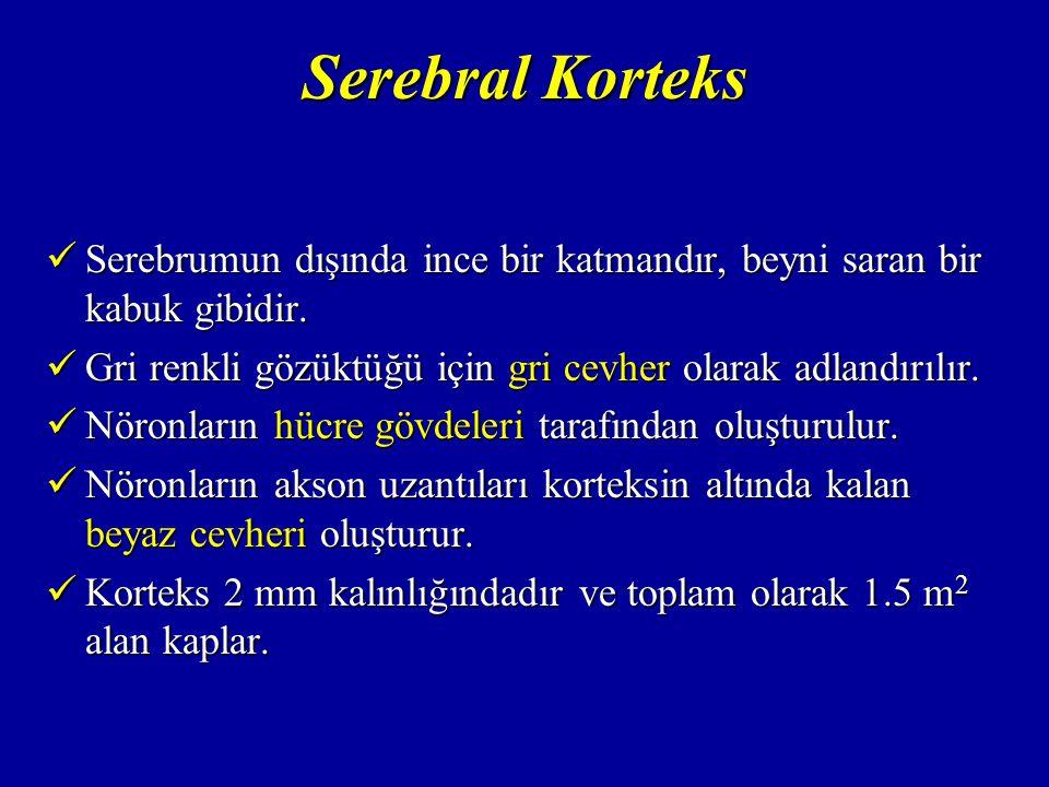 Serebral Korteks Serebrumun dışında ince bir katmandır, beyni saran bir kabuk gibidir.