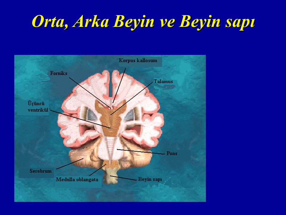 Orta, Arka Beyin ve Beyin sapı
