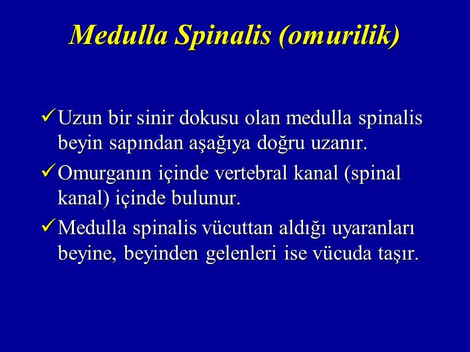 Medulla Spinalis (omurilik) Uzun bir sinir dokusu olan medulla spinalis beyin sapından aşağıya doğru uzanır.