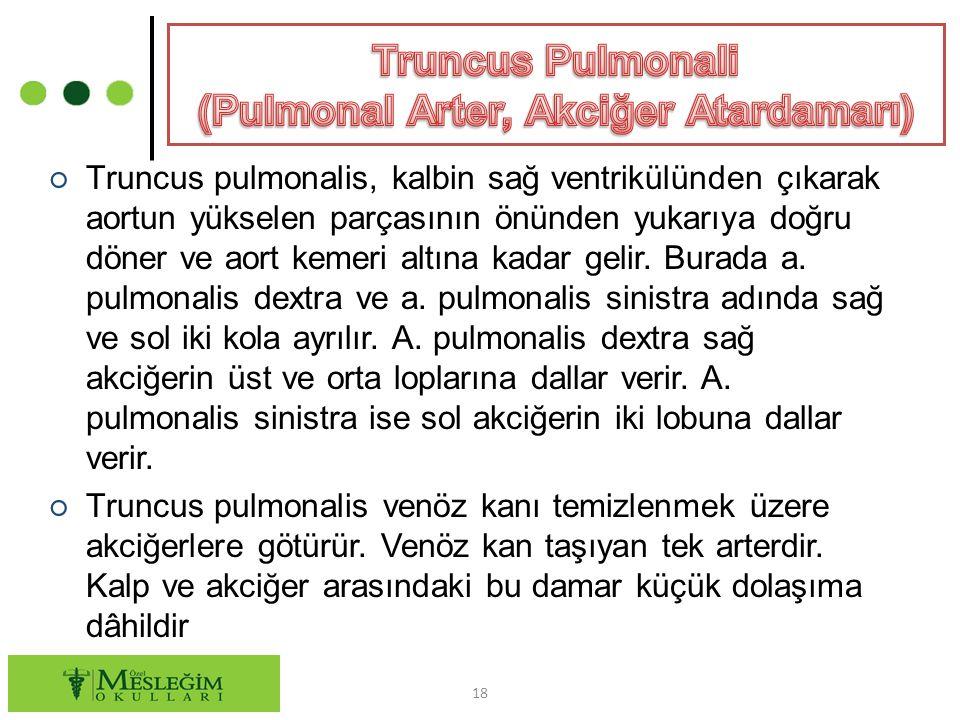 ○ Truncus pulmonalis, kalbin sağ ventrikülünden çıkarak aortun yükselen parçasının önünden yukarıya doğru döner ve aort kemeri altına kadar gelir.