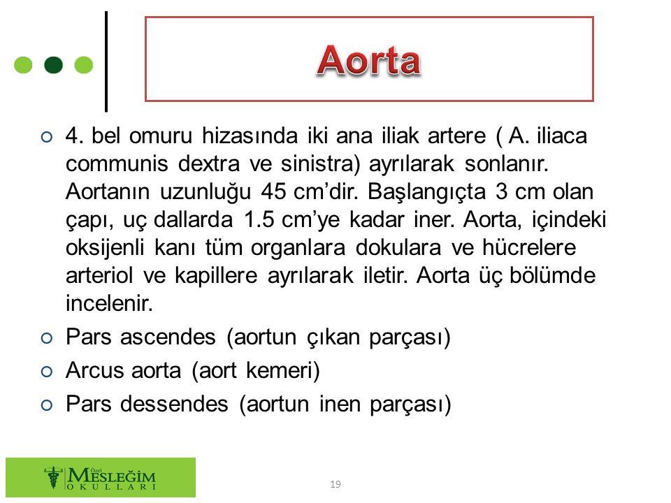 ○ 4.bel omuru hizasında iki ana iliak artere ( A.