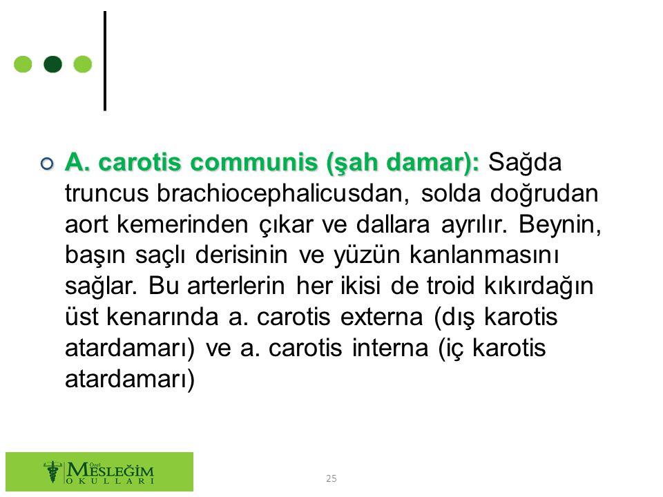 ○ A.carotis communis (şah damar): ○ A.
