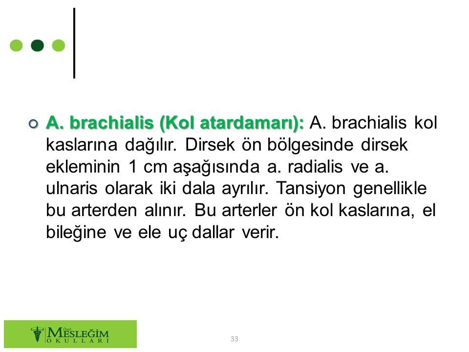 ○ A.brachialis (Kol atardamarı): ○ A. brachialis (Kol atardamarı): A.