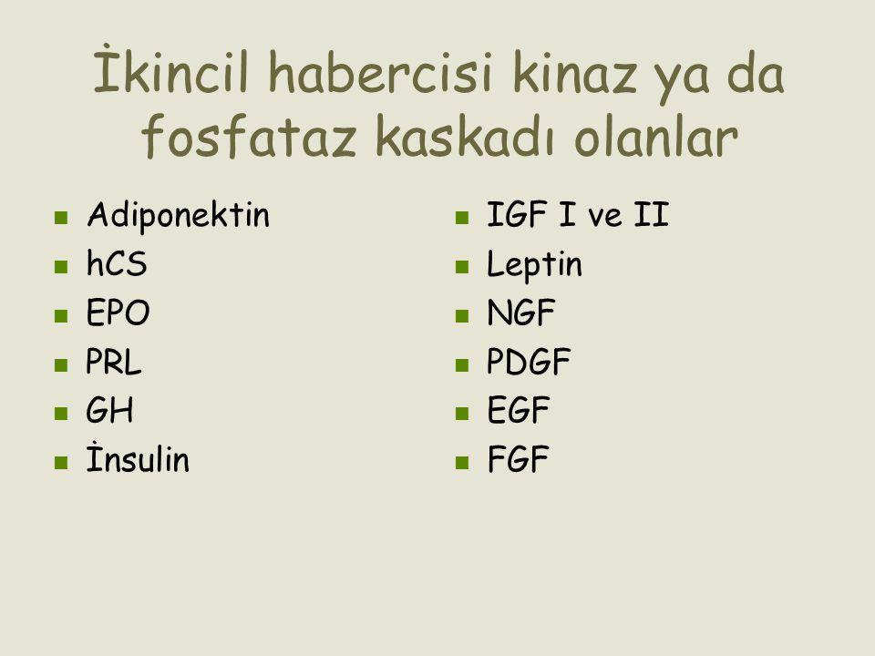 İkincil habercisi kinaz ya da fosfataz kaskadı olanlar Adiponektin hCS EPO PRL GH İnsulin IGF I ve II Leptin NGF PDGF EGF FGF