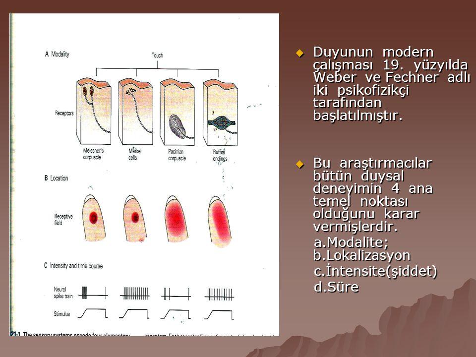  Diskriminatuar ve lokalize dokunma duyusu : En spesifik reseptörleri meisner korpuskuludur.