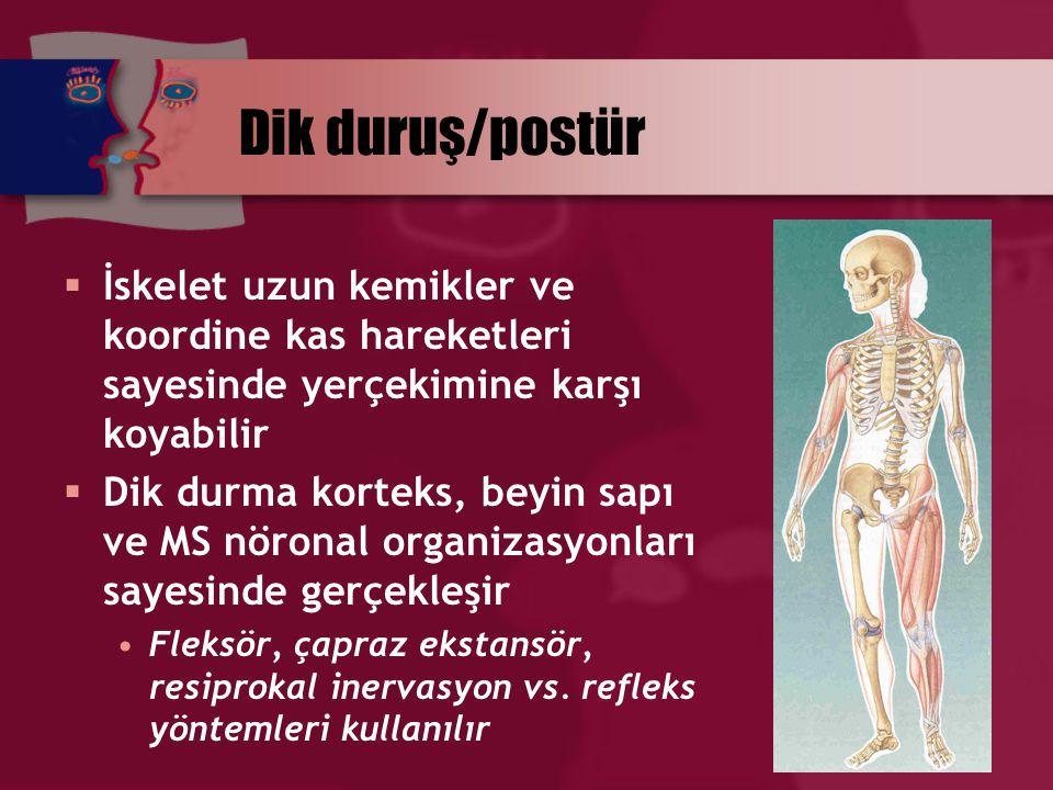 Dik duruş/postür  İskelet uzun kemikler ve koordine kas hareketleri sayesinde yerçekimine karşı koyabilir  Dik durma korteks, beyin sapı ve MS nöron
