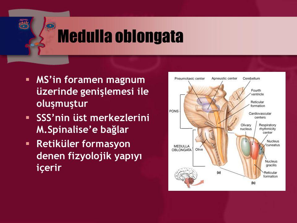 Medulla oblongata  MS'in foramen magnum üzerinde genişlemesi ile oluşmuştur  SSS'nin üst merkezlerini M.Spinalise'e bağlar  Retiküler formasyon den