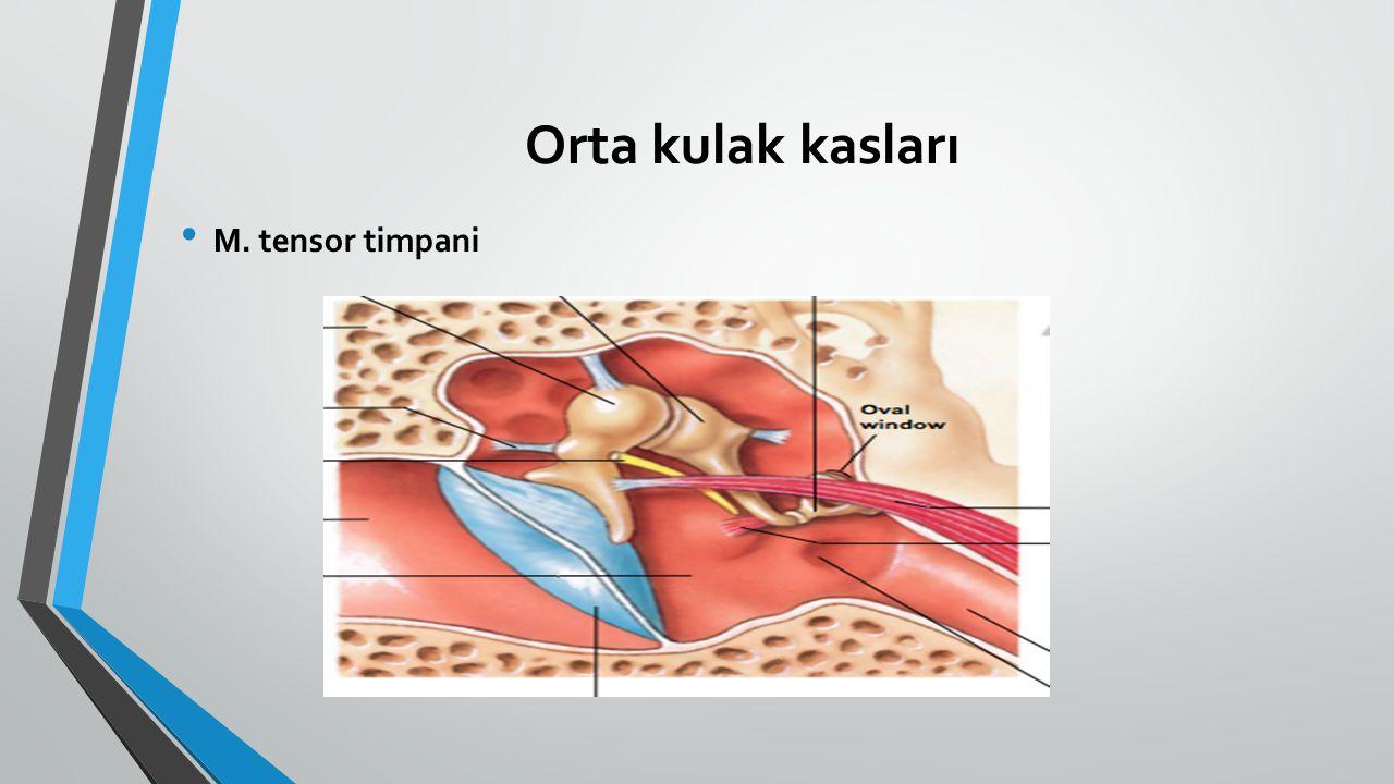 Orta kulak kasları M. tensor timpani