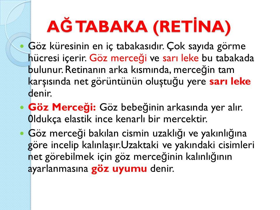 A Ğ TABAKA (RET İ NA) Göz küresinin en iç tabakasıdır. Çok sayıda görme hücresi içerir. Göz merce ğ i ve sarı leke bu tabakada bulunur. Retinanın arka