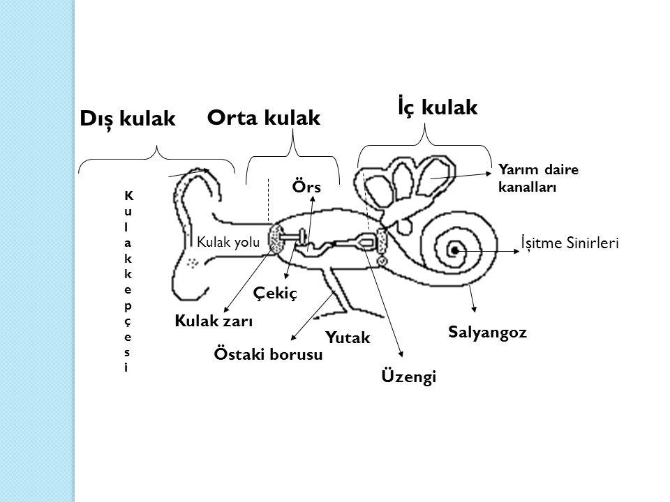 Dış kulak Orta kulak İ ç kulak KulakkepçesiKulakkepçesi Yarım daire kanalları İ şitme Sinirleri Salyangoz Kulak yolu Kulak zarı Östaki borusu Yutak Üz