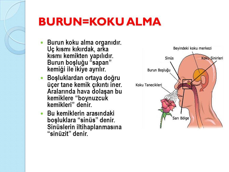 """BURUN=KOKU ALMA Burun koku alma organıdır. Uç kısmı kıkırdak, arka kısmı kemikten yapılıdır. Burun boşluğu """"sapan"""" kemiği ile ikiye ayrılır. Boşluklar"""