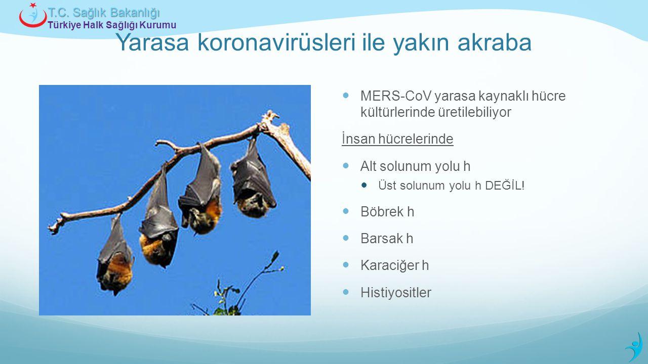 Türkiye Halk Sağlığı Kurumu T.C. Sağlık Bakanlığı Yarasa koronavirüsleri ile yakın akraba MERS-CoV yarasa kaynaklı hücre kültürlerinde üretilebiliyor