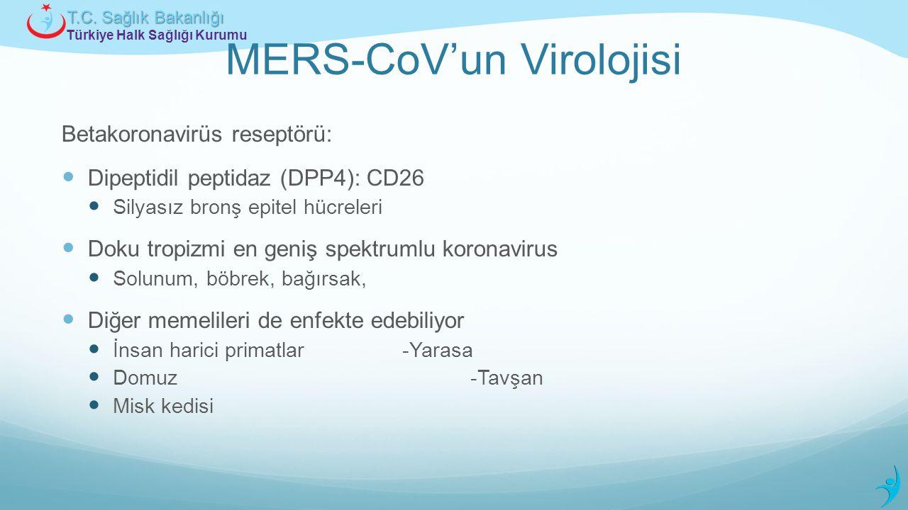 Türkiye Halk Sağlığı Kurumu T.C. Sağlık Bakanlığı MERS-CoV'un Virolojisi Betakoronavirüs reseptörü: Dipeptidil peptidaz (DPP4): CD26 Silyasız bronş ep