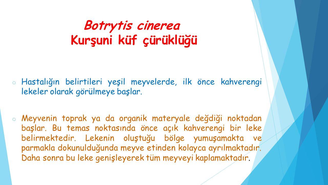 Botrytis cinerea Kurşuni küf çürüklüğü o Hastalığın belirtileri yeşil meyvelerde, ilk önce kahverengi lekeler olarak görülmeye başlar. o Meyvenin topr