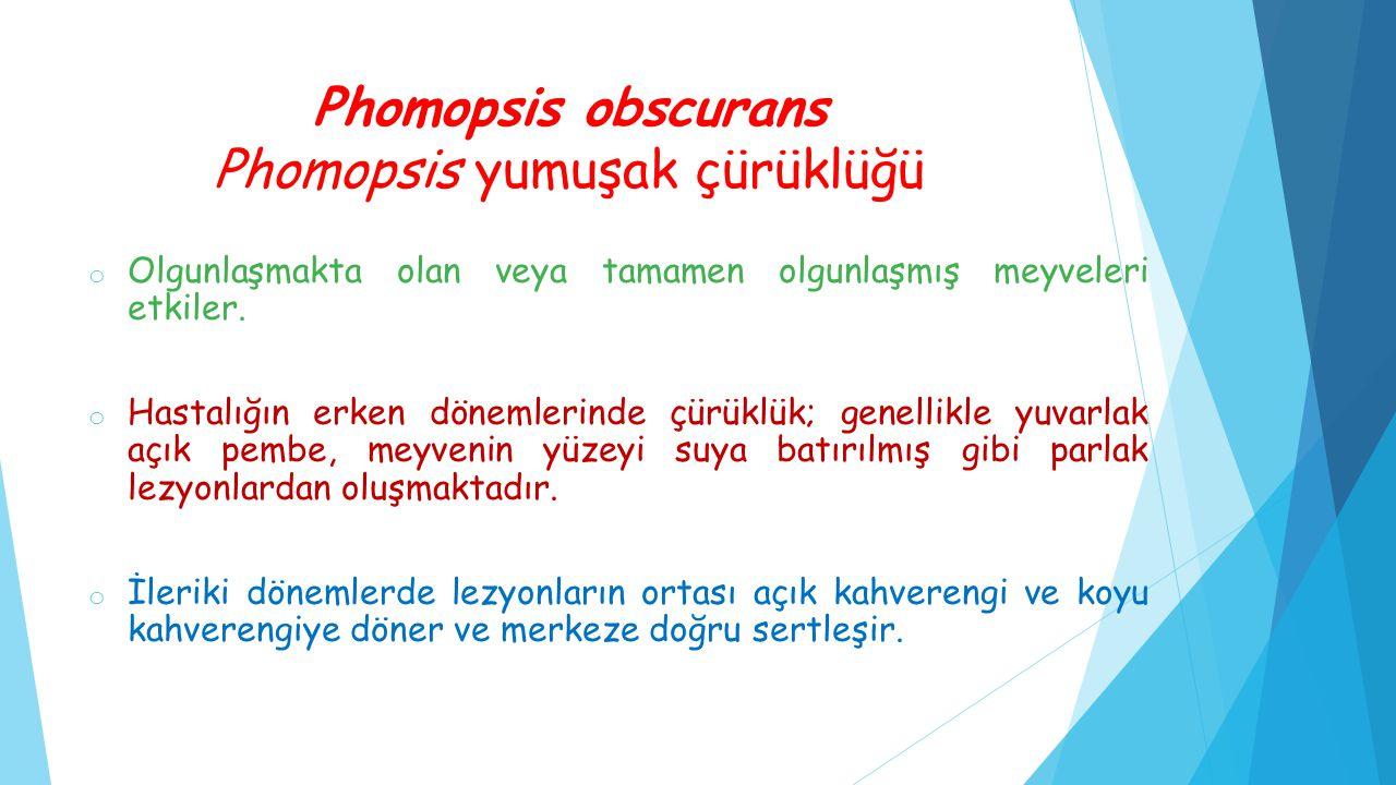 Phomopsis obscurans Phomopsis yumuşak çürüklüğü o Olgunlaşmakta olan veya tamamen olgunlaşmış meyveleri etkiler. o Hastalığın erken dönemlerinde çürük