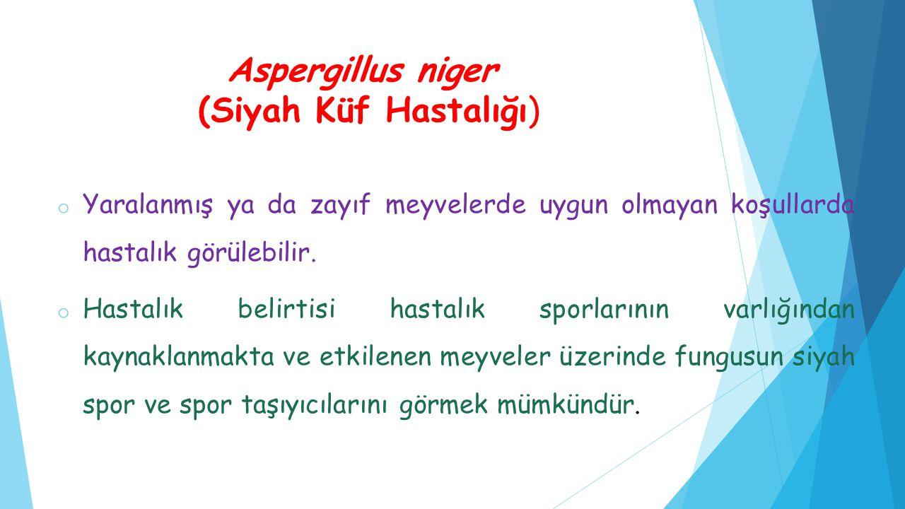 Aspergillus niger (Siyah Küf Hastalığı) o Yaralanmış ya da zayıf meyvelerde uygun olmayan koşullarda hastalık görülebilir. o Hastalık belirtisi hastal
