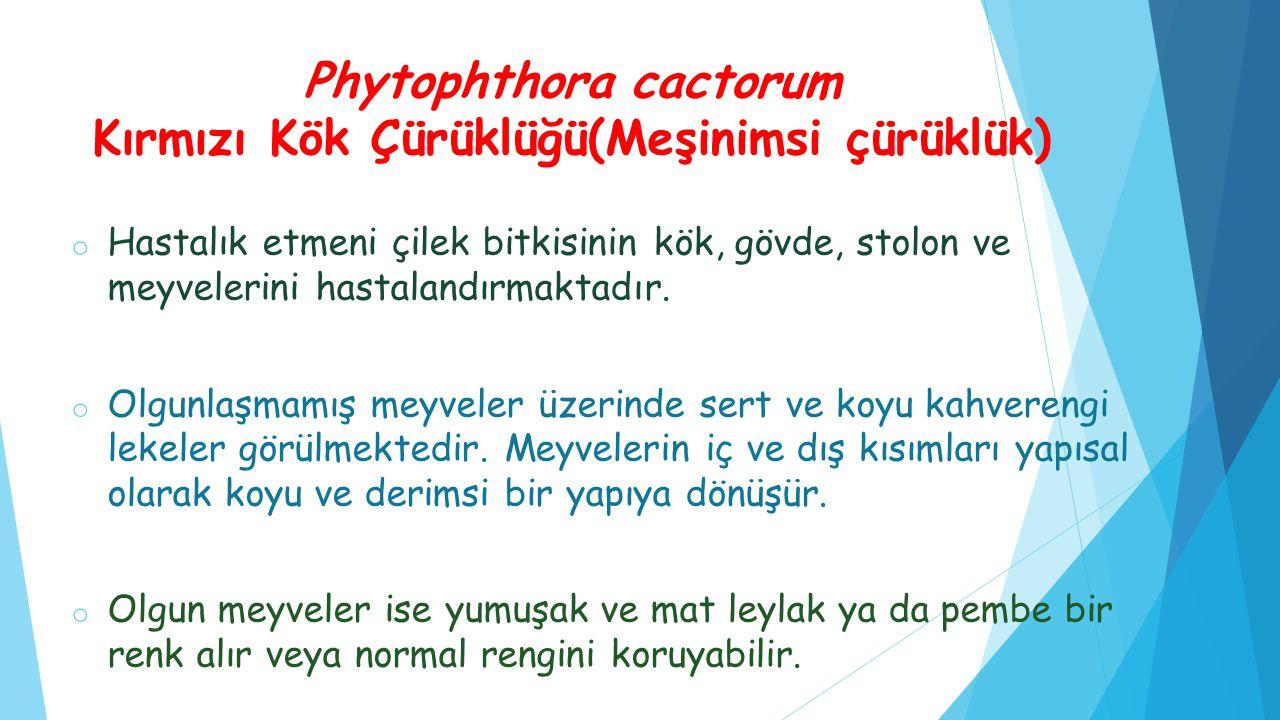 Phytophthora cactorum Kırmızı Kök Çürüklüğü(Meşinimsi çürüklük) o Hastalık etmeni çilek bitkisinin kök, gövde, stolon ve meyvelerini hastalandırmaktad