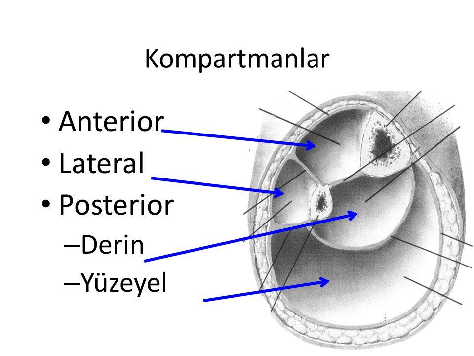 Kompartmanlar Anterior Lateral Posterior – Derin – Yüzeyel