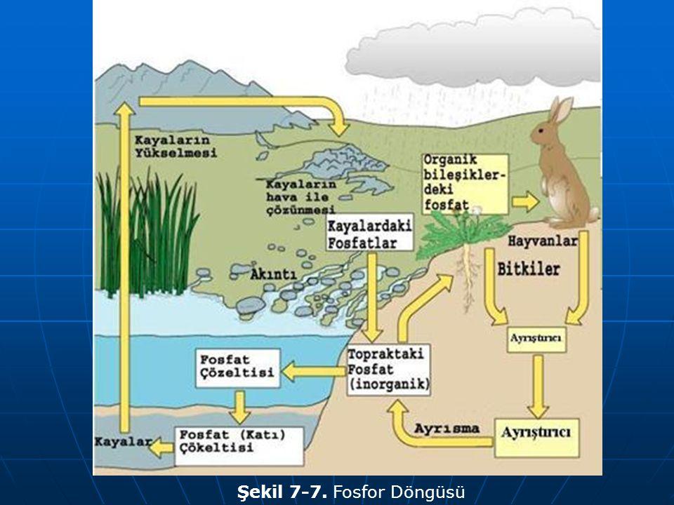 Şekil 7-7. Fosfor Döngüsü