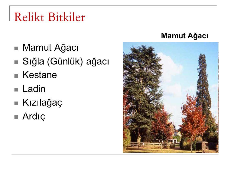 Relikt Bitkiler Mamut Ağacı Sığla (Günlük) ağacı Kestane Ladin Kızılağaç Ardıç Mamut Ağacı