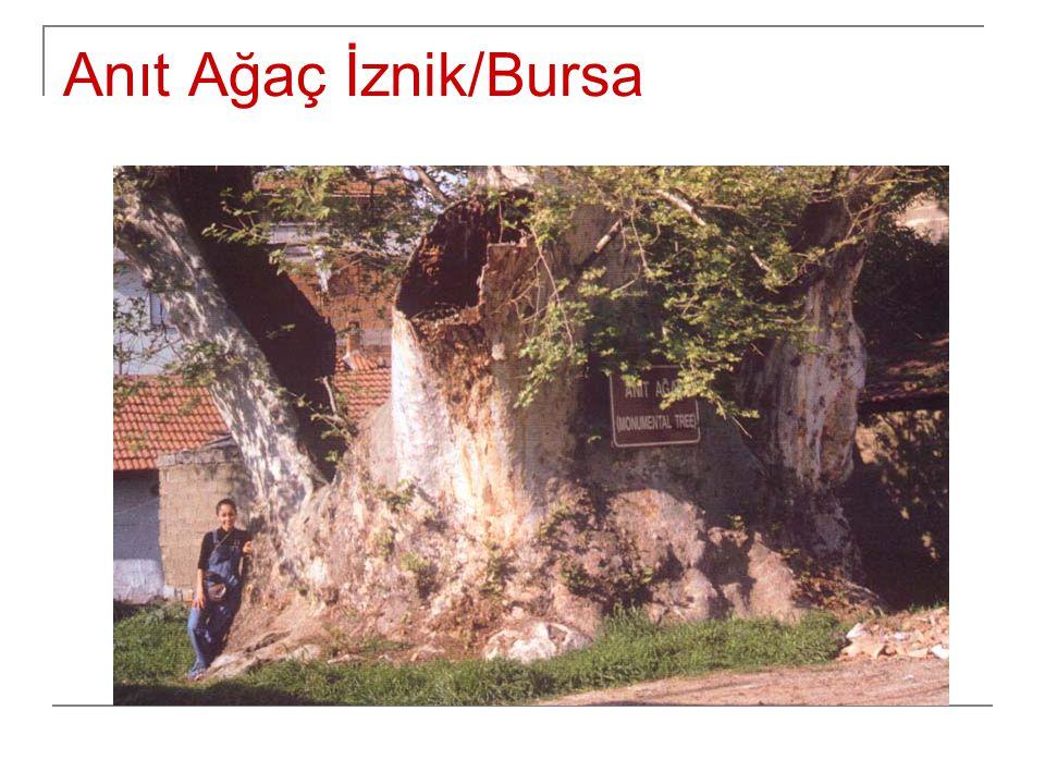 Anıt Ağaç İznik/Bursa