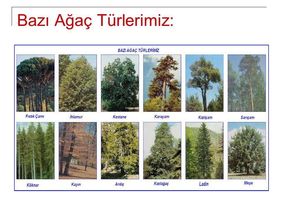 Bazı Ağaç Türlerimiz: