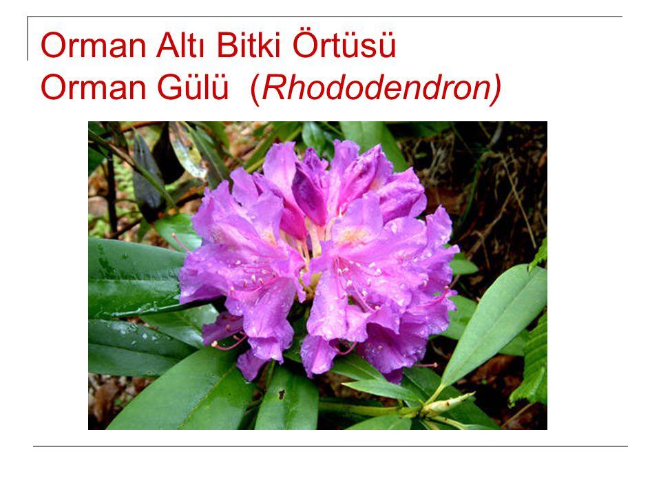 Orman Altı Bitki Örtüsü Orman Gülü (Rhododendron)