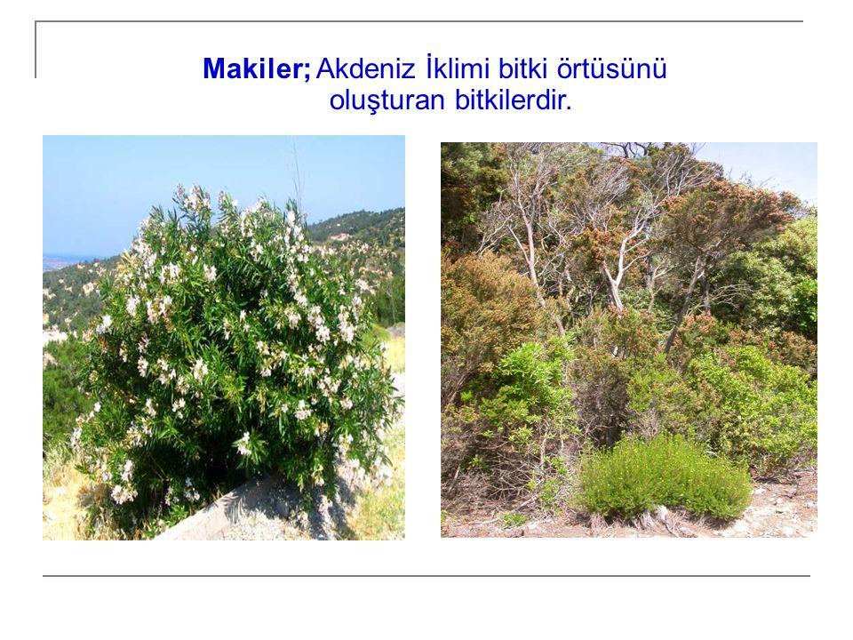 Makiler; Akdeniz İklimi bitki örtüsünü oluşturan bitkilerdir.