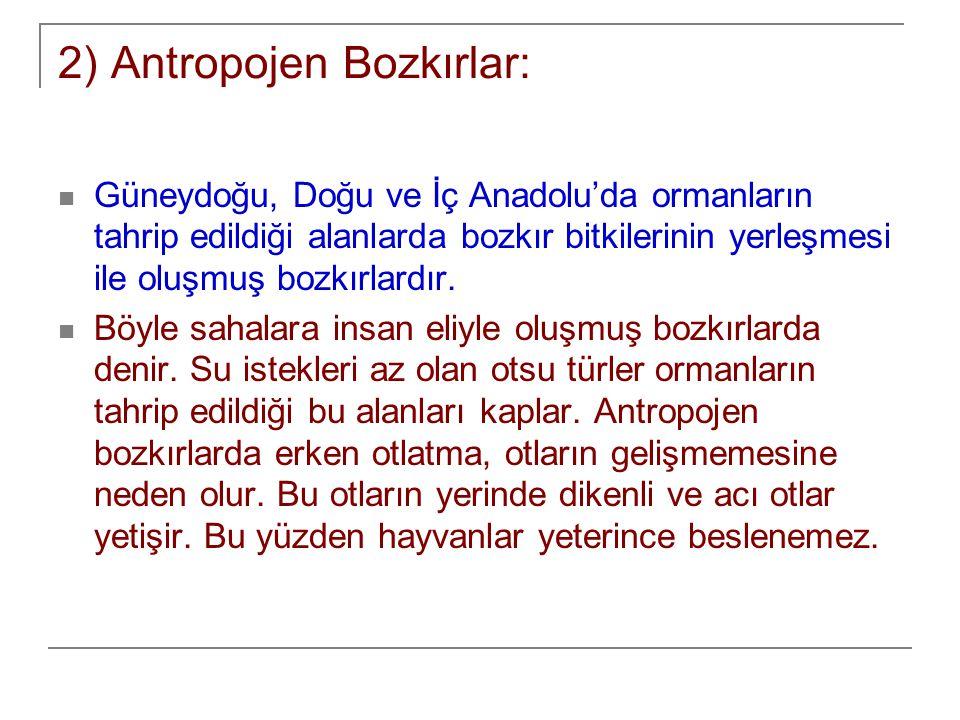 2) Antropojen Bozkırlar: Güneydoğu, Doğu ve İç Anadolu'da ormanların tahrip edildiği alanlarda bozkır bitkilerinin yerleşmesi ile oluşmuş bozkırlardır