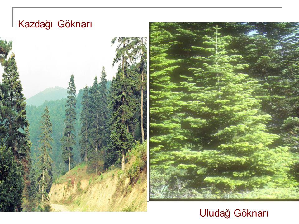 a) Akdeniz kıyı kuşağı ormanları: Kıyıdan, Toros Dağlarının 1000 m 'ye kadar olan kısmında, kuraklığa dayanıklı Kızılçam Ormanları yaygın olarak görülür.