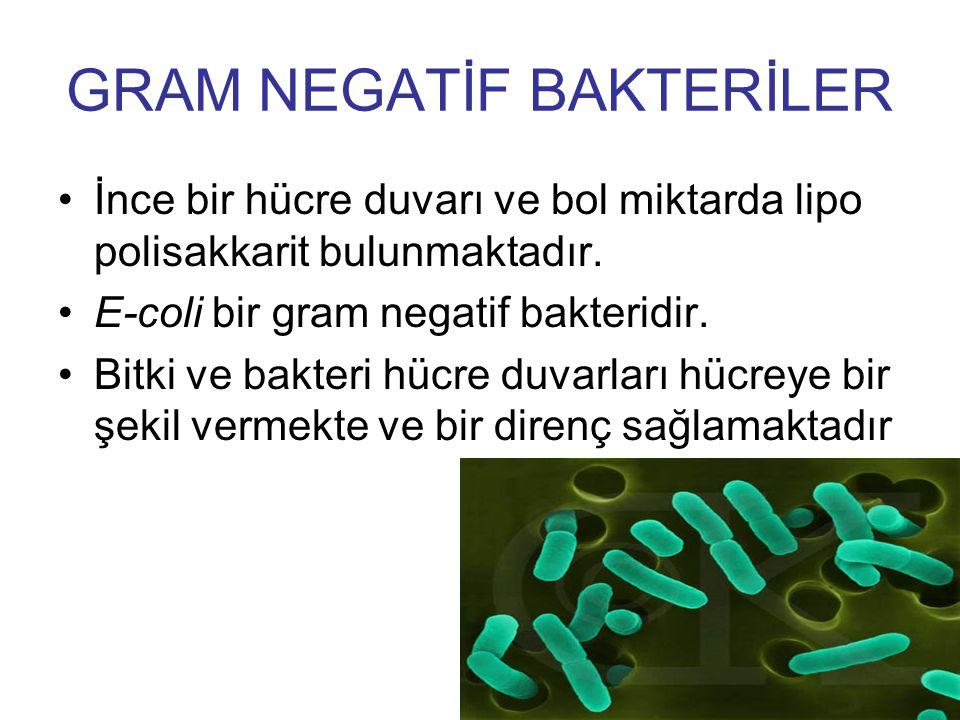 GRAM NEGATİF BAKTERİLER İnce bir hücre duvarı ve bol miktarda lipo polisakkarit bulunmaktadır. E-coli bir gram negatif bakteridir. Bitki ve bakteri hü