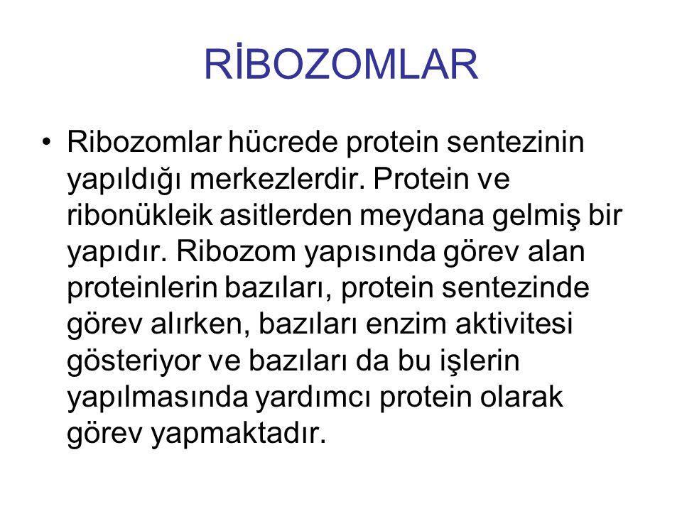 RİBOZOMLAR Ribozomlar hücrede protein sentezinin yapıldığı merkezlerdir. Protein ve ribonükleik asitlerden meydana gelmiş bir yapıdır. Ribozom yapısın