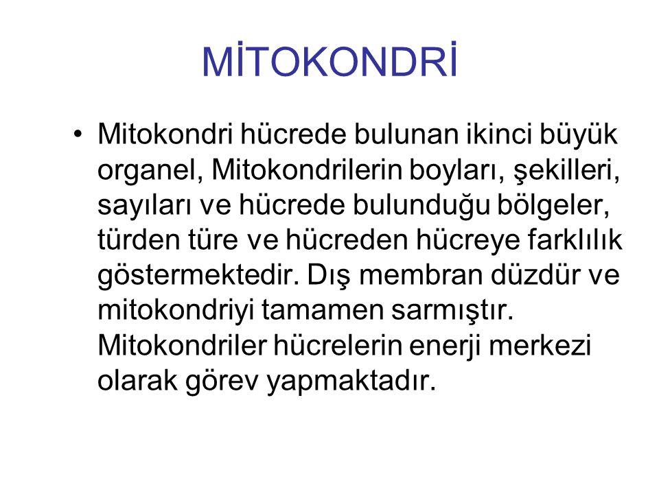 MİTOKONDRİ Mitokondri hücrede bulunan ikinci büyük organel, Mitokondrilerin boyları, şekilleri, sayıları ve hücrede bulunduğu bölgeler, türden türe ve
