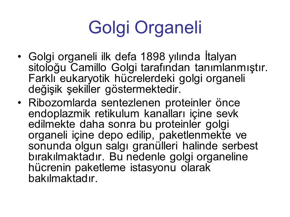 Golgi Organeli Golgi organeli ilk defa 1898 yılında İtalyan sitoloğu Camillo Golgi tarafından tanımlanmıştır. Farklı eukaryotik hücrelerdeki golgi org