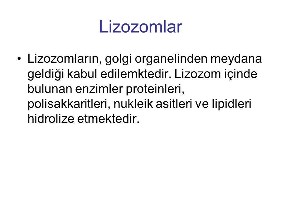 Lizozomlar Lizozomların, golgi organelinden meydana geldiği kabul edilemktedir. Lizozom içinde bulunan enzimler proteinleri, polisakkaritleri, nukleik