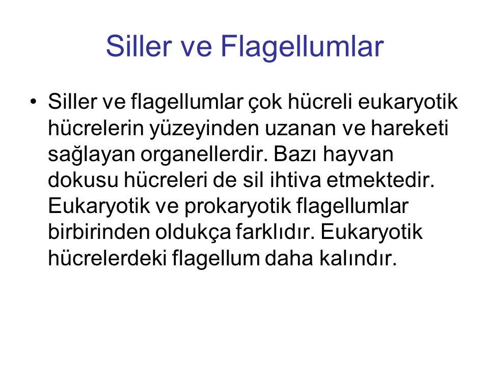 Siller ve Flagellumlar Siller ve flagellumlar çok hücreli eukaryotik hücrelerin yüzeyinden uzanan ve hareketi sağlayan organellerdir. Bazı hayvan doku