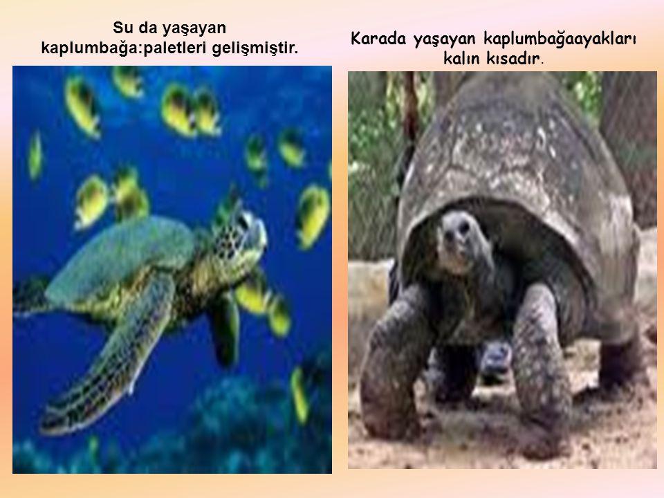 Su da yaşayan kaplumbağa:paletleri gelişmiştir. Karada yaşayan kaplumbağaayakları kalın kısadır.