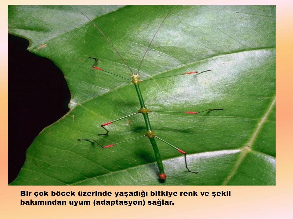 Bir çok böcek üzerinde yaşadığı bitkiye renk ve şekil bakımından uyum (adaptasyon) sağlar.