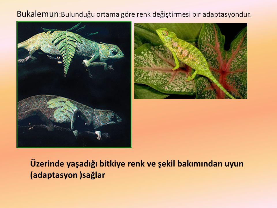 Bukalemun :Bulunduğu ortama göre renk değiştirmesi bir adaptasyondur. Üzerinde yaşadığı bitkiye renk ve şekil bakımından uyun (adaptasyon )sağlar